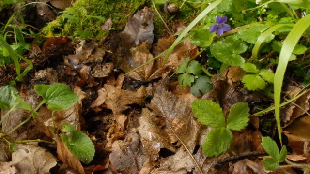 T/L Snails crawling on leaf litter, MS, UK woodland