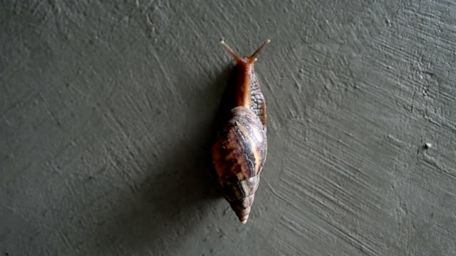 snails crawling on the concrete wall with copy space 4k footage. - chiocciola gasteropode video stock e b–roll