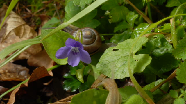 vídeos de stock, filmes e b-roll de t/l snails crawling on violet, mcu, uk woodland - caracol