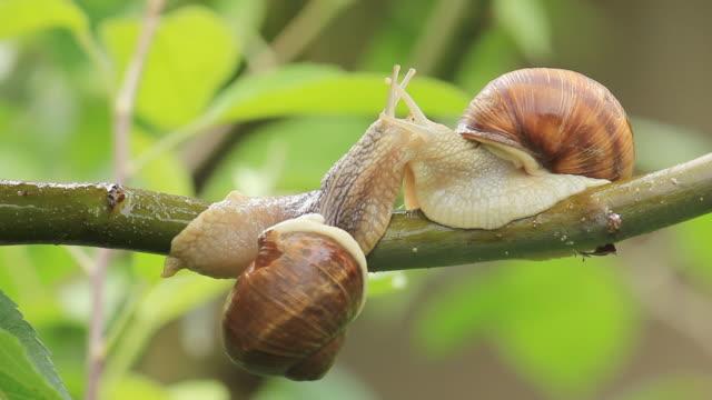 vidéos et rushes de escargots sur une succursale - two animals