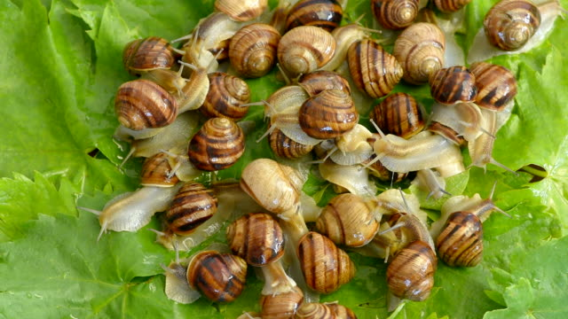 snails on the grape leaves