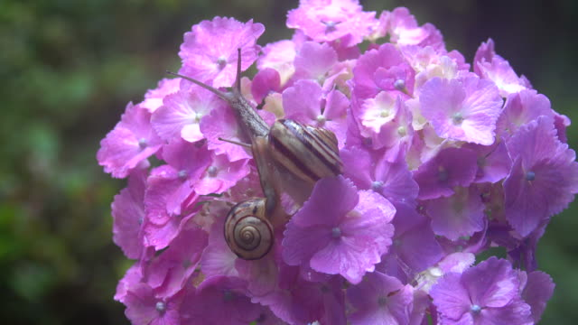 snails on the hydrangea - animal antenna stock videos & royalty-free footage