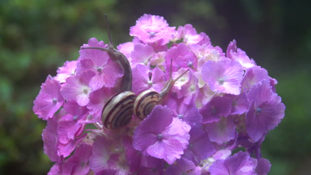 snails on the hydrangea - plusphoto stock videos & royalty-free footage