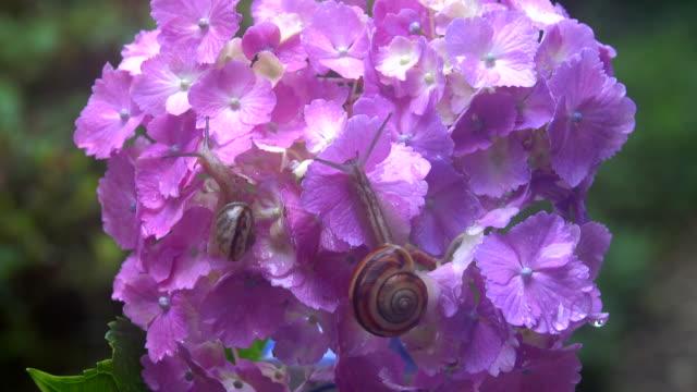 snails on the hydrangea - mollusco video stock e b–roll