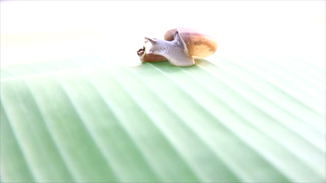 Snails walking on banana Leaves and shake with wind.