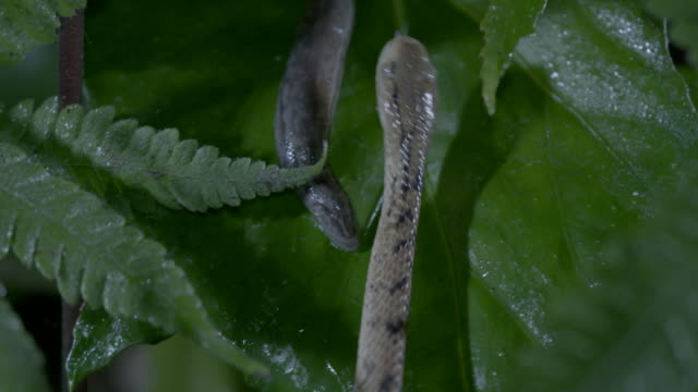 vídeos de stock, filmes e b-roll de snake and the slug on a leaf - gastrópode