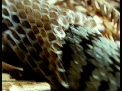 cu snake body moving on straw, shedding skin - 抜け殻点の映像素材/bロール