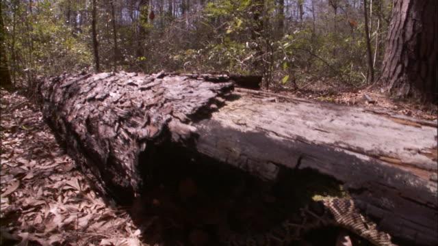 A snake coils under a fallen log.