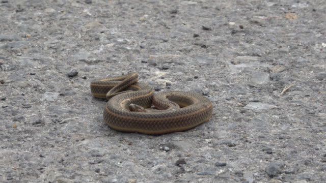 snake crawling on the floor - brown stock videos & royalty-free footage