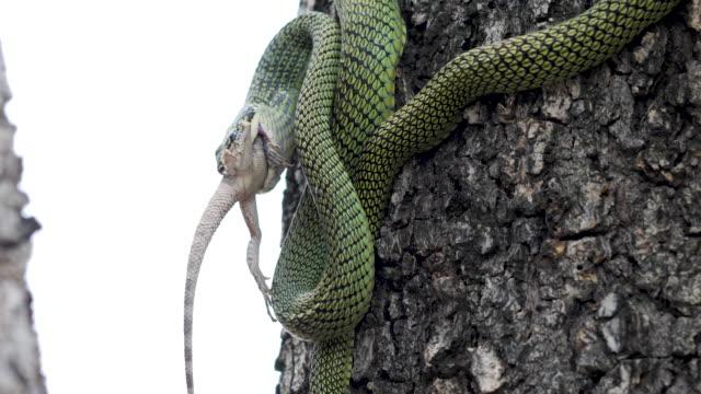 snake eating lizard - viper stock videos & royalty-free footage