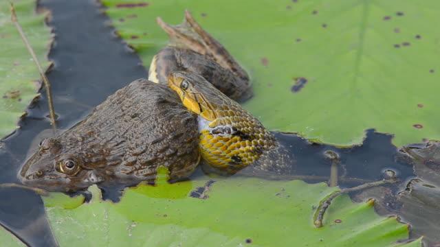Snake Essen Opfer im Wasser