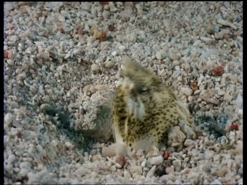 cu snake eel in sand, head emerges fom sand, gulping, side view, mabul, borneo, malaysia - buried stock videos & royalty-free footage