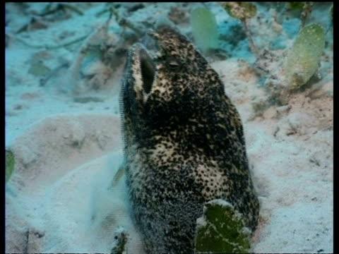 cu snake eel in sand, head emerges fom sand, gulping, side view, mabul, borneo, malaysia - emersione video stock e b–roll