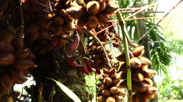 vídeos de stock e filmes b-roll de snake fruit on tree - ramo parte de uma planta