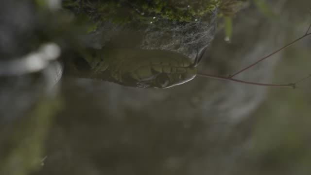 snake head reflected in water, japan. - takashima shiga stock videos & royalty-free footage