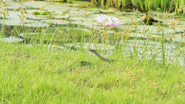 snake on grass - pond stock videos & royalty-free footage