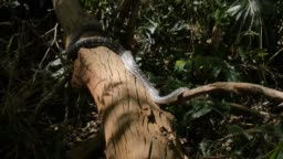 Snake reptile closeup hunting in rain forest - Diamond Python