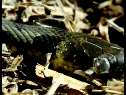 CU snake, side view of head on straw beginning to shed skin, loose transparent eye goggle, sequence