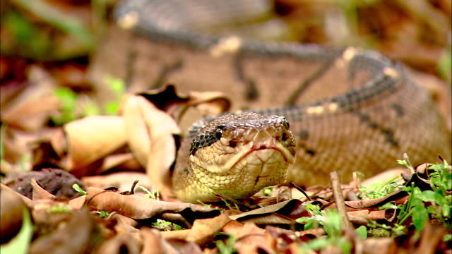 selective focus, cu, snake sliding on ground and flicking tongue - schlange kriechtier stock-videos und b-roll-filmmaterial