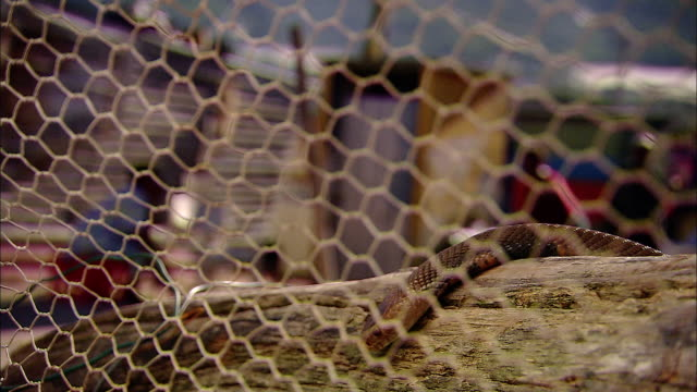 a snake slithers and slides over a log behind chicken wire. - chicken wire stock videos and b-roll footage