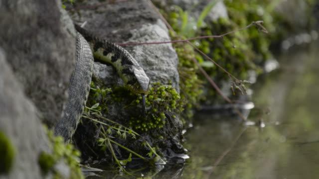 snake slithers into water, japan. - takashima shiga stock videos & royalty-free footage