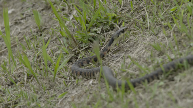 snake slithers through grass, japan. - takashima shiga stock videos & royalty-free footage