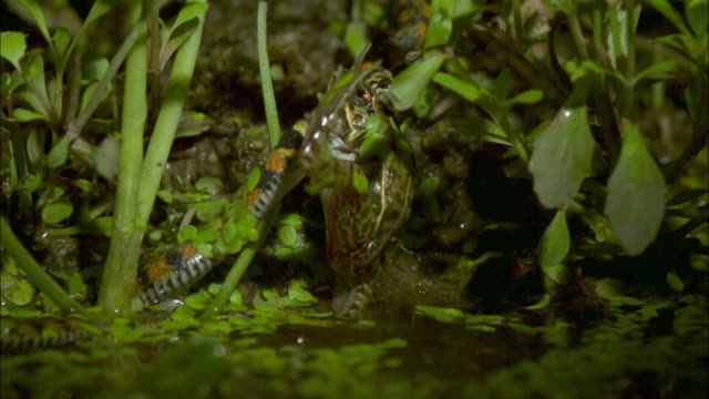 snake strikes frog - reptile stock videos & royalty-free footage