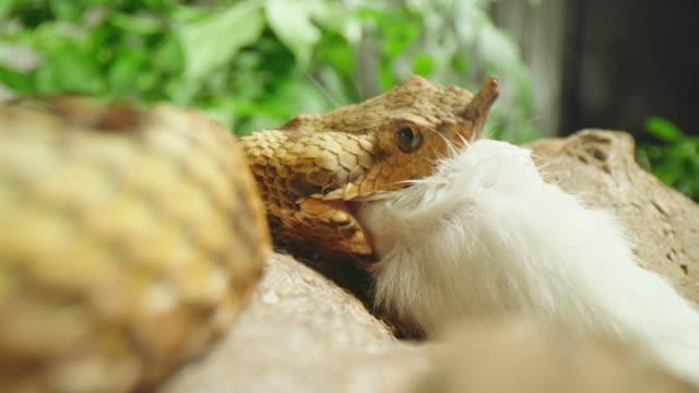 vídeos de stock, filmes e b-roll de slo mo snake engolindo sua presa - parte do corpo animal