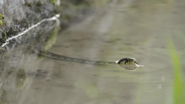 snake swims in paddy field, japan. - takashima shiga stock videos & royalty-free footage