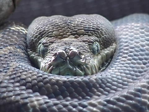 snake  - tier in gefangenschaft stock-videos und b-roll-filmmaterial
