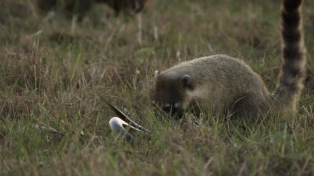 snake writhes and thrashes as south american coati (nasua nasua) bites at it. - djur som jagar bildbanksvideor och videomaterial från bakom kulisserna