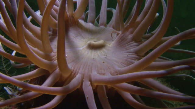 snakelock anemone.  arran. underwater, north atlantic - sea anemone stock videos & royalty-free footage