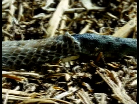 mcu snakes body quickly shedding skin - 抜け殻点の映像素材/bロール