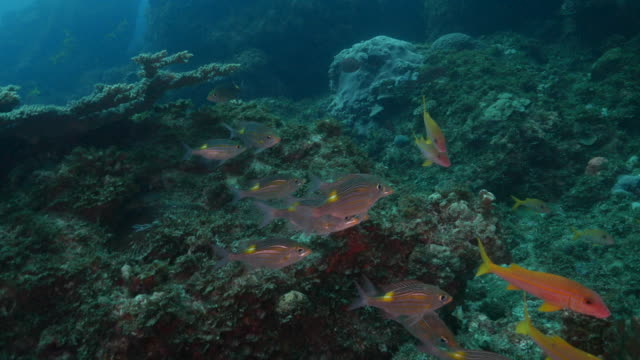 snapper fish and goatfish schooling at deep sea reef - goatfish stock videos & royalty-free footage