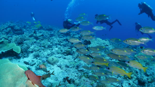Snapper fish schooling in undersea reef