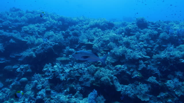 snapper fish swimming in undersea reef - snapper fish stock videos & royalty-free footage