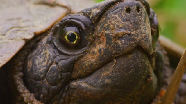 vídeos y material grabado en eventos de stock de snapping turtle en el primer plano de la hierba, tiro delantero 3/4 - reptile