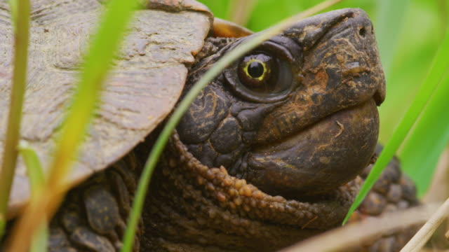 snapping turtle in grass close-up, profile - tortoise stock videos & royalty-free footage