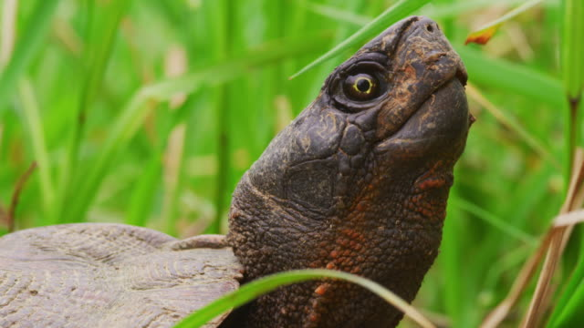 snapping turtle in grass with head up - tortoise stock videos & royalty-free footage