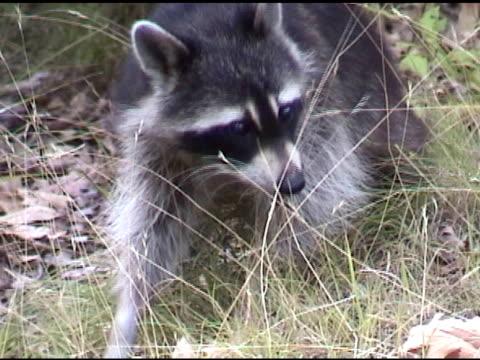 Sneaky raccoon - NTSC