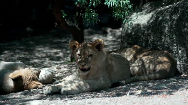 Sneering Lioness under tree