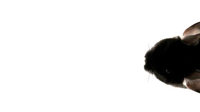 sniffing black chinchilla on white background - morrhår bildbanksvideor och videomaterial från bakom kulisserna