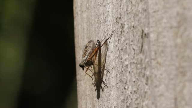a snipe fly, rhagio scolopaceus, perching on a wooden fence in woodland in the uk. - animal antenna stock videos & royalty-free footage