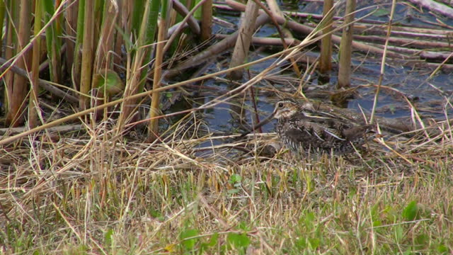 snipe in the grass - water bird stock videos & royalty-free footage