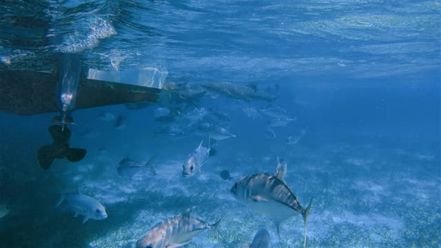 snorkel trip with feeding nurse sharks and horse-eye jack (caranx latus) fish on shark ray alley marine reserve in caribbean sea - belize barrier reef / ambergris caye - caribbean reef shark stock videos and b-roll footage