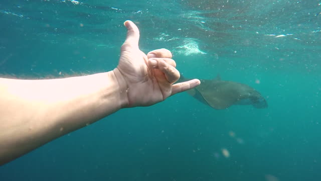 a snorkeler swims with manta rays with a friendly shaka hand gesture and points. - slow motion - indicare video stock e b–roll