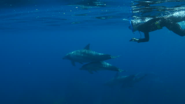 snorkeling diver swimming together with wild dolphin - snorkelling stock videos & royalty-free footage