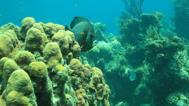 Snorkeling in reef, angelfish swimming through coral