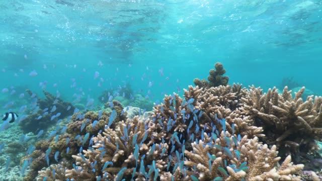 vidéos et rushes de plongée en apnée dans la belle mer de maurice, protégée par le récif de l'océan indien - récif corallien