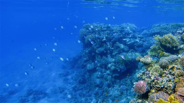 Schnorcheln an wunderschönen Korallenriff mit vielen tropischen Fischen im Roten Meer in der Nähe Marsa Alam